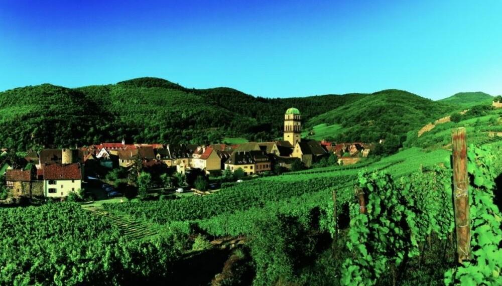 ALSACE: Vinmarker i Kaysersberg.
