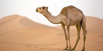 EKSOTISKE DYR: Hva smaker en kamel?