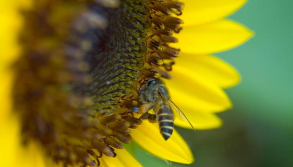 HONNING: Vi kan takke biene for naturens eget søtningsstoff.