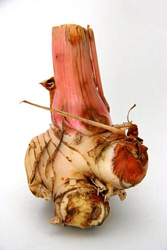 GALANGAL: En snodig knoll med sterk og litt furuaktig smak.