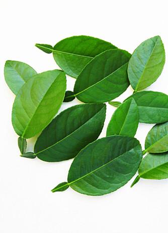 KAFFIRLIMEBLADER: Bladene på sitrusfrukten kaffirlime blir brukt som krydder.