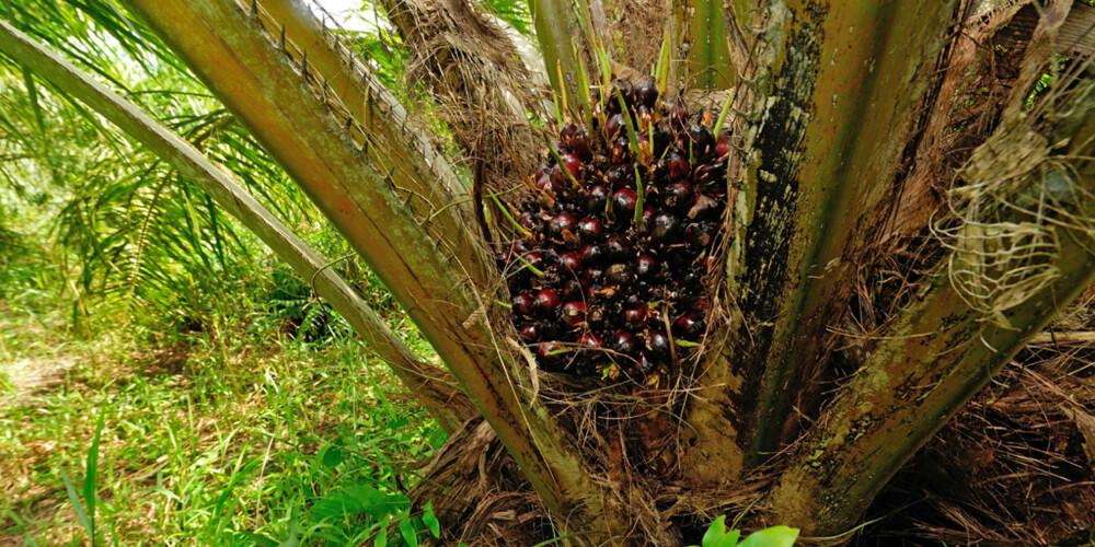 SKEPTISK: Palmeolje inneholder mye palmitinsyre, som står på listen over fettsyrer med mulig negativ effekt på hjerte- karsykdommer. ILLUSTRASJONSFOTO: Colourbox