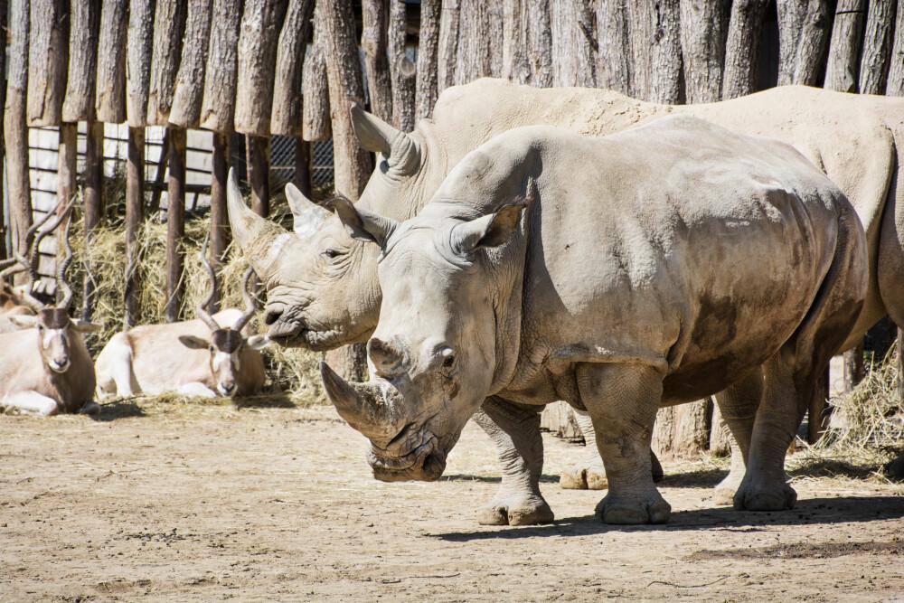 REDD NESHORNENE: Nepals bestand av neshorn har steget med 21 prosent i løpet av de siste fire årene. de har også markert ett år uten at noen ble drept av krypskyttere.