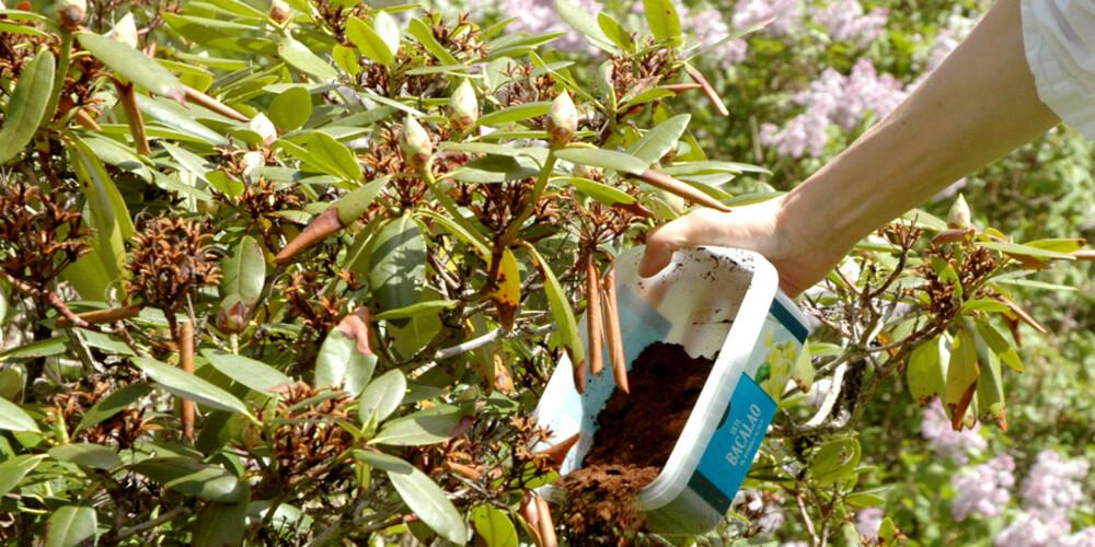 FINT I SURBED: Rhododendron og andre surbedsplanter kan dra nytte av kaffegrut som gjødsel og/eller jordforbedrende middel.