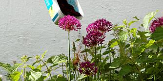 SKAL HOLDE SNEGL OG KATTER UNNA: Katter som driter i blomsterbedet, eller snegler som knasker i seg plantene dine? Kaffegrut skal hjelpe.