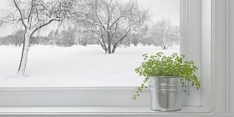 LYS: - Vi gir urtene vann og oppbevarer dem ferske i vinduskarmen slik at de får mest mulig sol. Men det er forskjell mellom de ulike urtene på hvor mye de tåler, sier Berg.