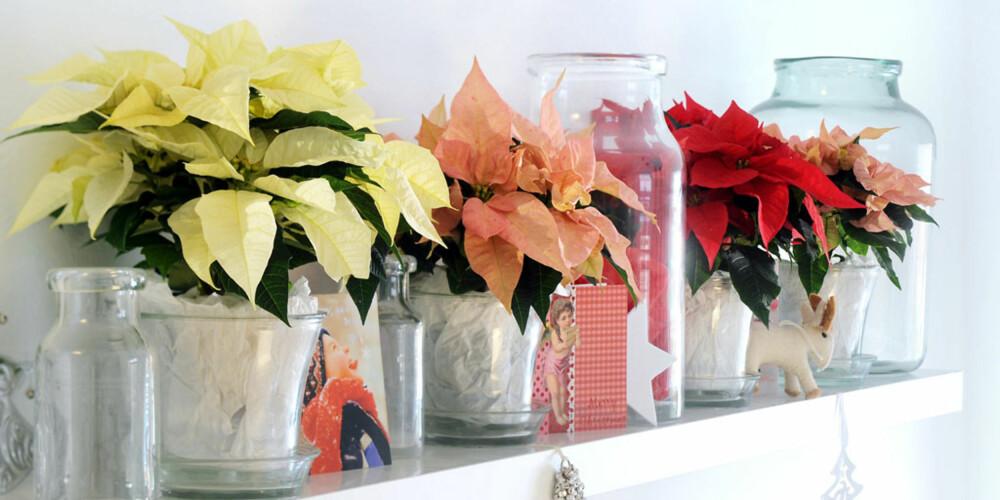 VARIASJON: Den som liker andre farger i julen, har mye å velge i. Julestjerna kommer i flere flotte nyanser, fra helt hvitt til sarte pasteller og den tradisjonelle røde.