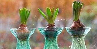 I GLASS: Løk kan med fordel drives frem med røttene i glass, det ser dekorativt ut!