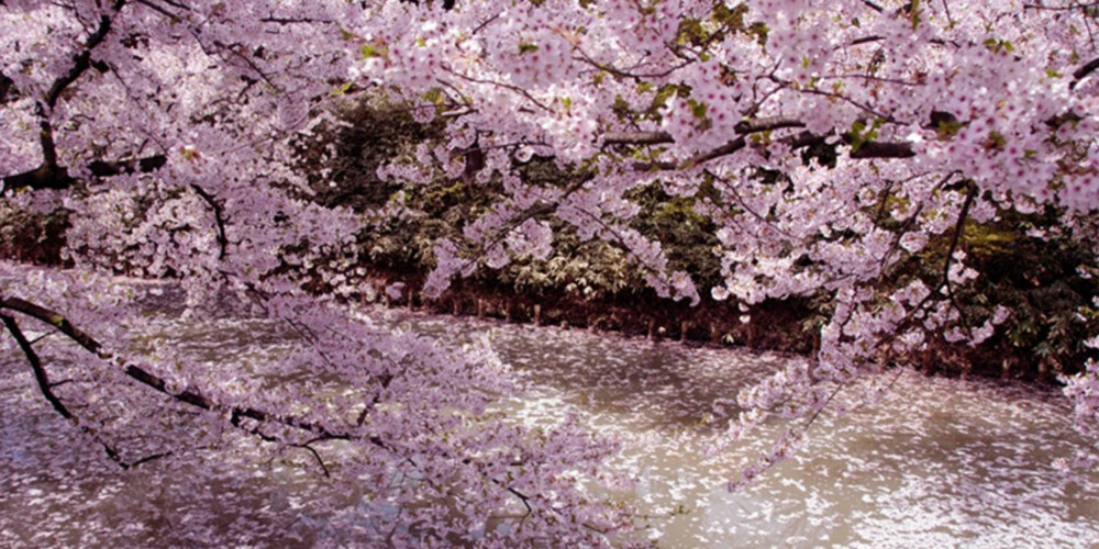 VAKKERT: I mars og april blomstrer kirsebærtrærne i Tokyos parker og hager.