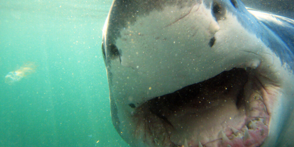 MAT FOR HAIEN?: Mennesker er ikke mat for haier, i følge fiskeforsker Otte Bjelland. FOTO: Hennie Krugel ved Great White Shark Tours