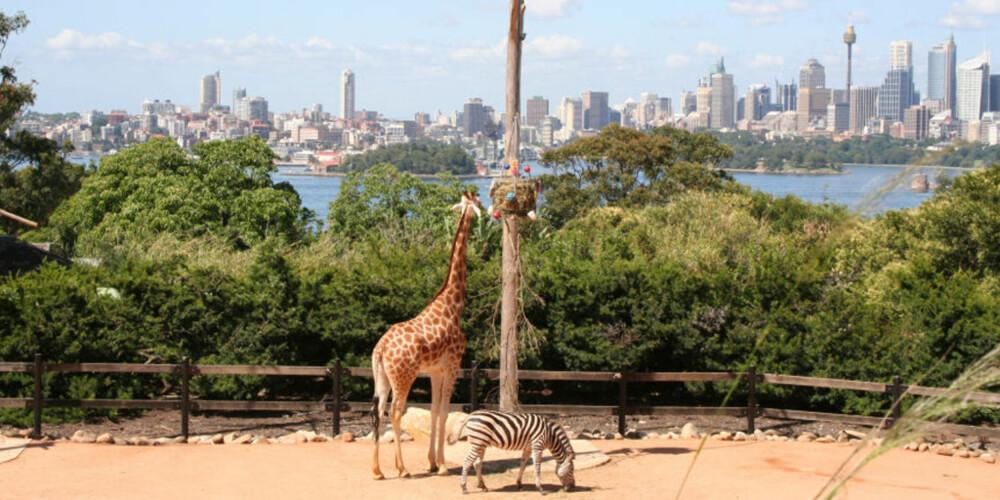ROOM WITH A VIEW; Sjiraffene i Taronga Zoo kan ikke klage på utsikten i alle fall.