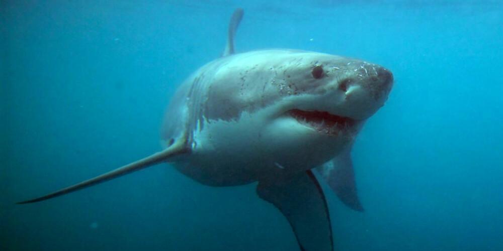 STORE HAIER: I buret så dykkerne flere store haier som sirklet rundt dem. FOTO: Hennie Krugel ved Great White Shark Tours