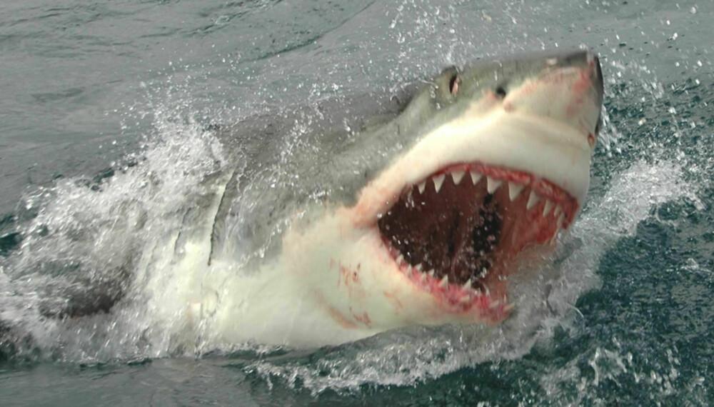 POPULÆR ØKOTURISME: I Gaansbai, Sør Afrika, er haidykking en populær turisme. FOTO: Hennie Krugel ved Great White Shark Tours