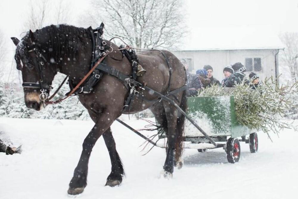 VINTERIDYLL: Flere gårder tilbyr tur ut i skogen med hest og slede for å hogge juletrær.