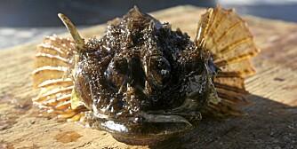 MINIREKORD: Sportsfiskerekorder kan settes på alle norske fisker. Dette er dvergulke-rekorden på 162 gram som ble fanget av Markus B. Guttormsen i september 2010.