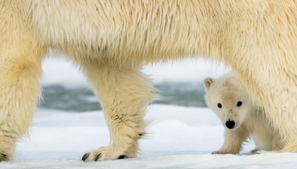 Gull og premien for månedens bilde går til Øyvind Dyrdal for dette herlige bildet av en isbjørnunge som gjemmer seg bak moren sin.