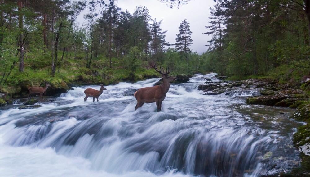 Rolf Selviks beste bilde i 2015; Hjortebukker i elv.