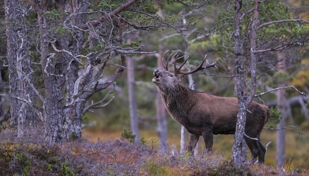 """Gull og månedens bilde. Magnar Liens """"Kronhjortbrøl i gammelskog""""."""
