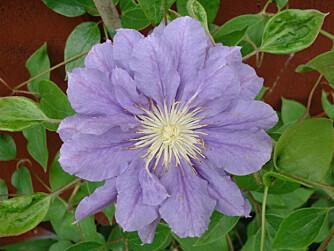 IRRITERER: Klematis inneholder stoffer som gir raskt forbigående hudirritasjon ved kontakt med plantesaften.