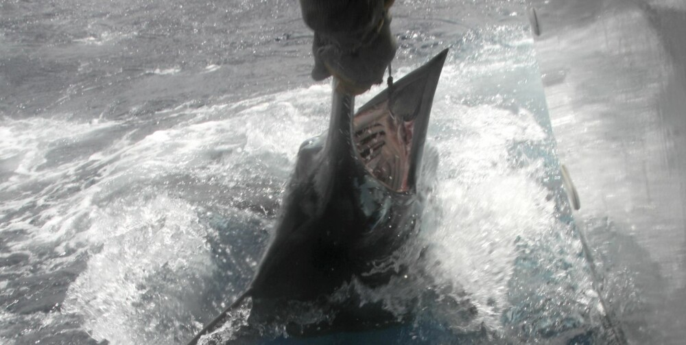 MARLIN: Fisken er inntil båten, og settes ut igjen. Denne veide omkring 200 pund.