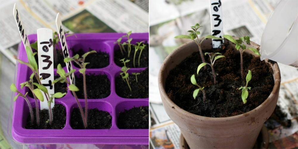 PRIKLES: Når frøene har spiret skal de over i egne potter. Til dette bruker du vanlig, god plantejord.