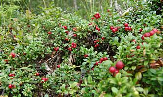 SYLTETØY I HAGEN: Tyttebær kan du dyrke selv hvis du har riktig jord.