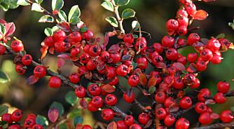 COTONEASTER: Mispel kan fint benyttes i hagen. Den får dekorative bær.