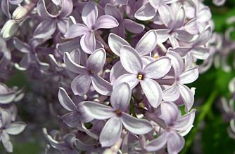 SYRIN: En av våre mest brukte busker. Nydelig duft.