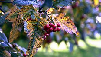 ROGN: Populært blant småfuglene om høsten og glimrende til gele.