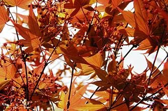 LØNN: Både dekorativ og harmløs. Kjent for nydelige høstfarger.