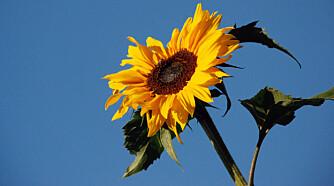 SOLSIKKE: Dekorativ, vokser raskt og gir frø til fuglene om vinteren.