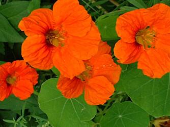 BLOMKARSE: Så trygg at blomstene kan spises i salat.