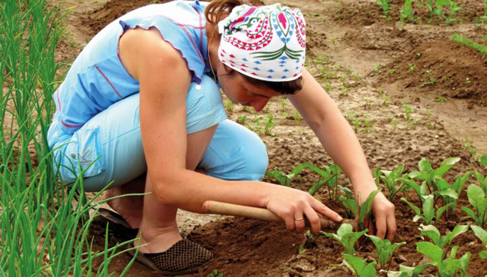 TYNNING: Ikke la grønnsakene vokse for tett, tynn etter de har spirt når du dyrker på friland.