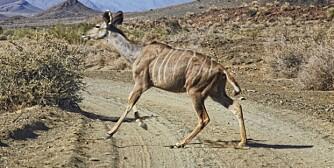 KUDU: Pass deg for kuduen.