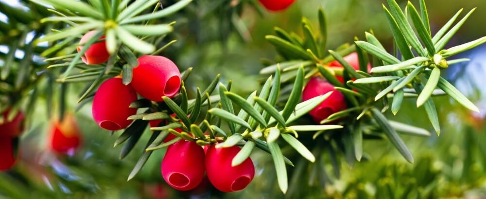 Barlind er giftig, og hvis barnet har spist mer enn fem bær, bør dere kontakte Giftinformasjonen. Kontakt lege ved symptomer. Foto: Colourbox.no