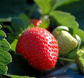 JORDBÆR: Pass på de siste jordbærene, de må ikke ligge på bakken og råtne.