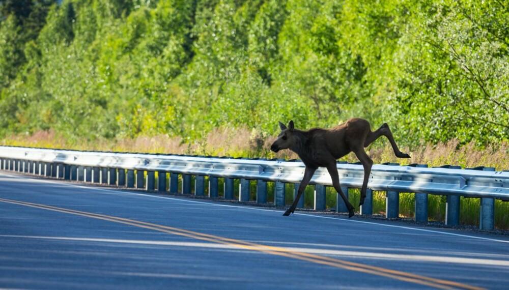HØYSESONG: Kalenderen viser snart oktober, og det betyr høysesong for elgpåkjørsler. 40 prosent av ulykkene skjer i denne ene måneden.