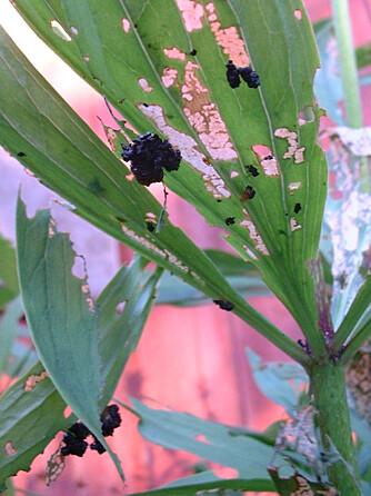 SKADEVERK: Liljebillene gjør stor skade på plantene og snauspiser bladene.