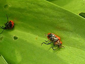 Liljebiller dør når du bruker sprøytemidler, men vær forsiktig så du ikke tar livet av nyttedyr samtidig.