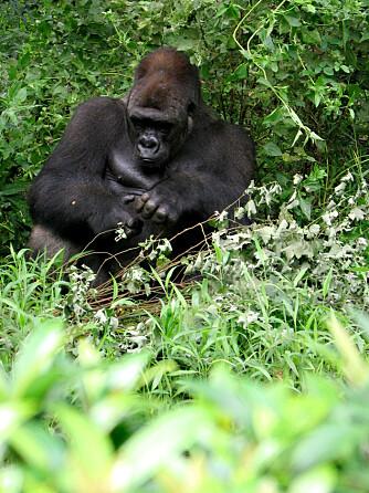 Dyrerikets flaueste herre på horehus, det må han være, gorillafar. Han stiller med fem centimeter.