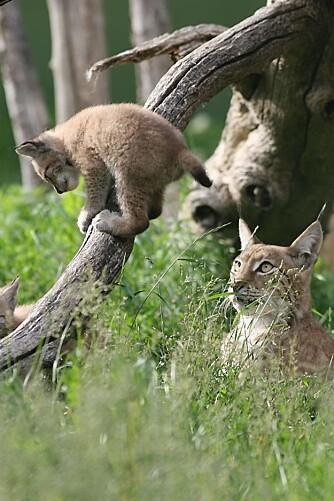 NYTT LIV: Å oppleve gaupemor med unge i naturen er få forunt. Natureventyret er like fortryllende i en dyrepark.