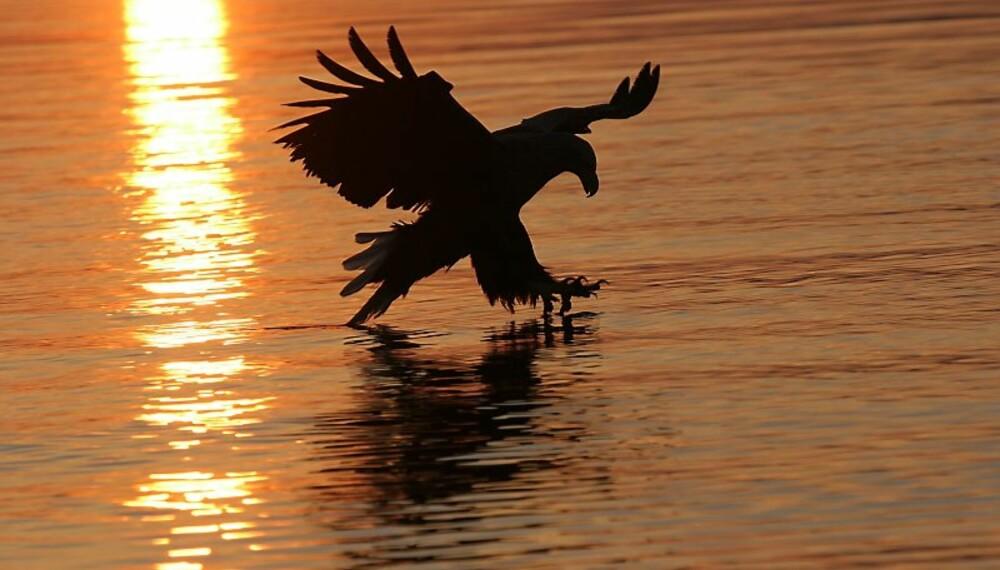 HAVØRN: Den majestetiske fuglen griper en småsei som er kastet på havet. Fotografen benytter et 300 mm objektiv og fanger stemningen!