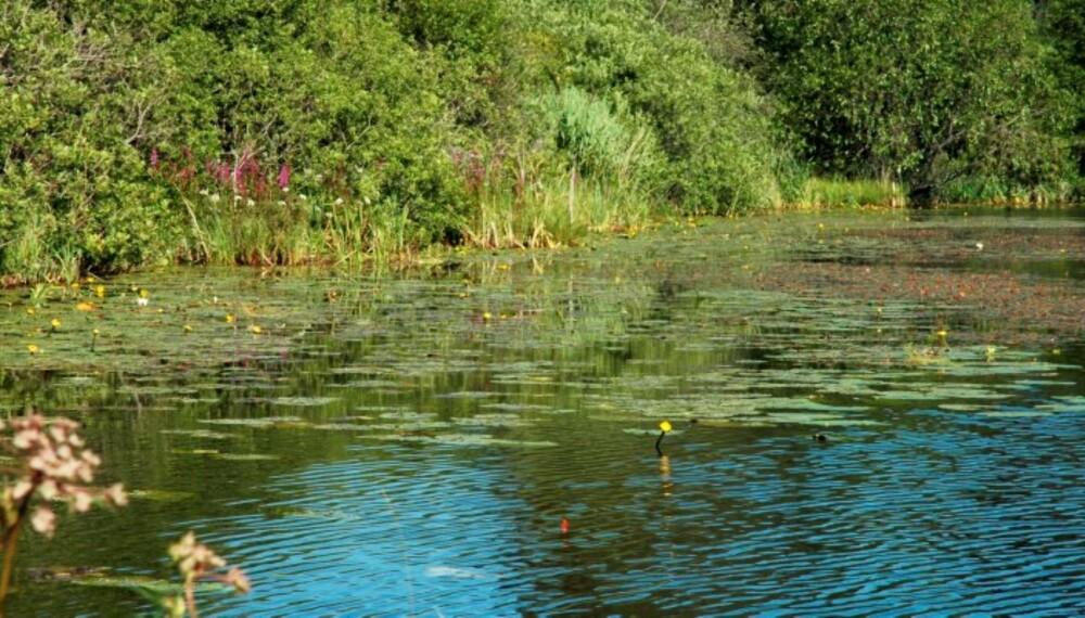KLIMA: Grunne, næringsrike lavlandsland med stor fisketetthet vil kunne få problemer ved en evntuell algeoppblomstring. (Foto: Krister Ottesen)