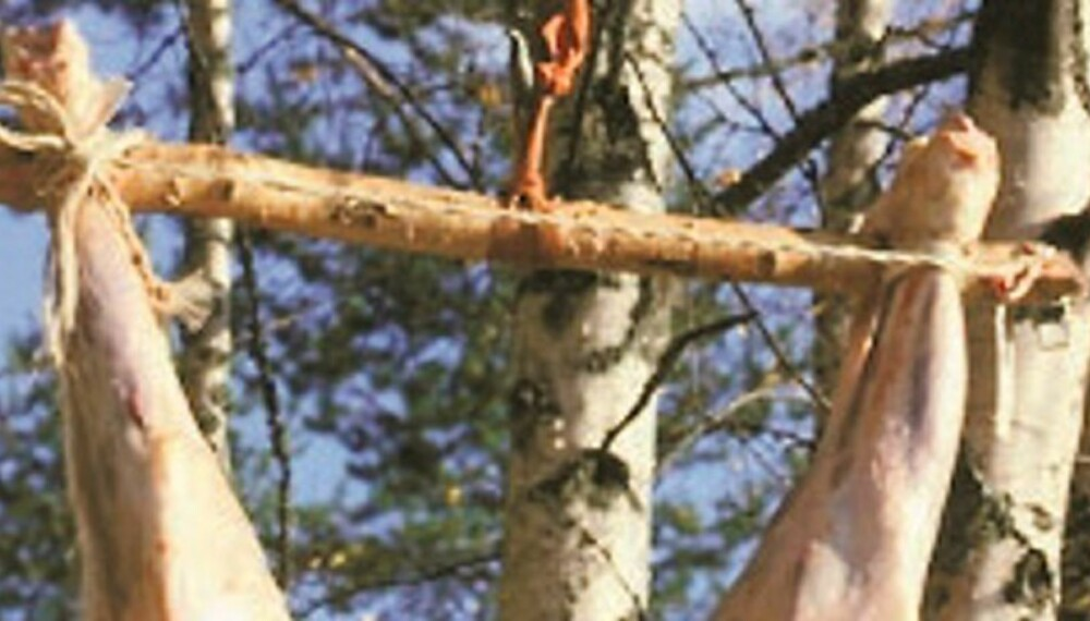 ENKLE HJELPEMIDLER: Det er avgjort lettest å gjøre opp hjortevilt hvis det kan henges opp etter bakbeina. Her er det brukt talje og ellers enkle midler for å få hengt opp en elg. (Foto: Dag Kjelsaas)