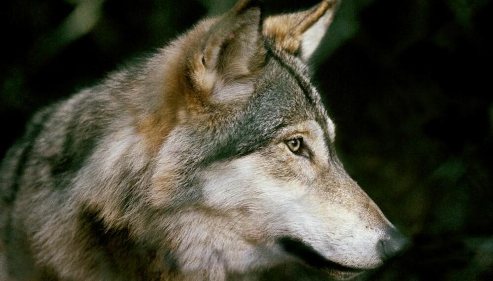 VIKTIG TILSKUDD: Dala-vargen kan bidra med nye gener i den sørskandinaviske ulvestammen. (Foto: Kenneth Johansson)