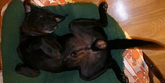 Hvis hunden stadig klør seg, kn det være et tegn på lus eller lopper. (Foto: Dag Kjelsaas)