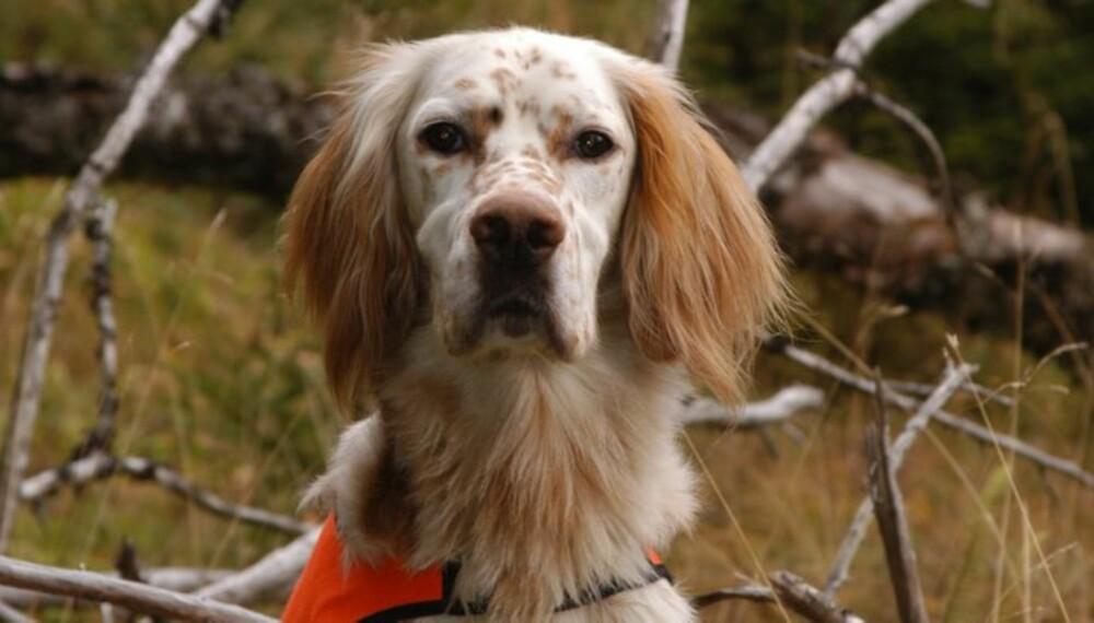 EFFEKTIV OG NYTTIG: En stående fuglehund søker mer effektivt enn en støkkjeger, og finner dessuten raskt igjen skadeskutt fugl. Norges beste fuglehund de senere årene, HiTreff, er først og fremst en høyfjellshund, men eier Ingvar Rødsjø bruker hunden til skogsfugljakt også. (Foto: Thor Olav Moen)