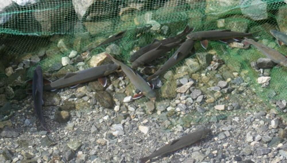 HOLD FISKEN LEVENDE: Flere halvkilosrøyer går i stengselet. Rett før avsluttet fisketur blir de tatt opp med håv, avlivet og renset. (Foto: Dag Kjelsaas)