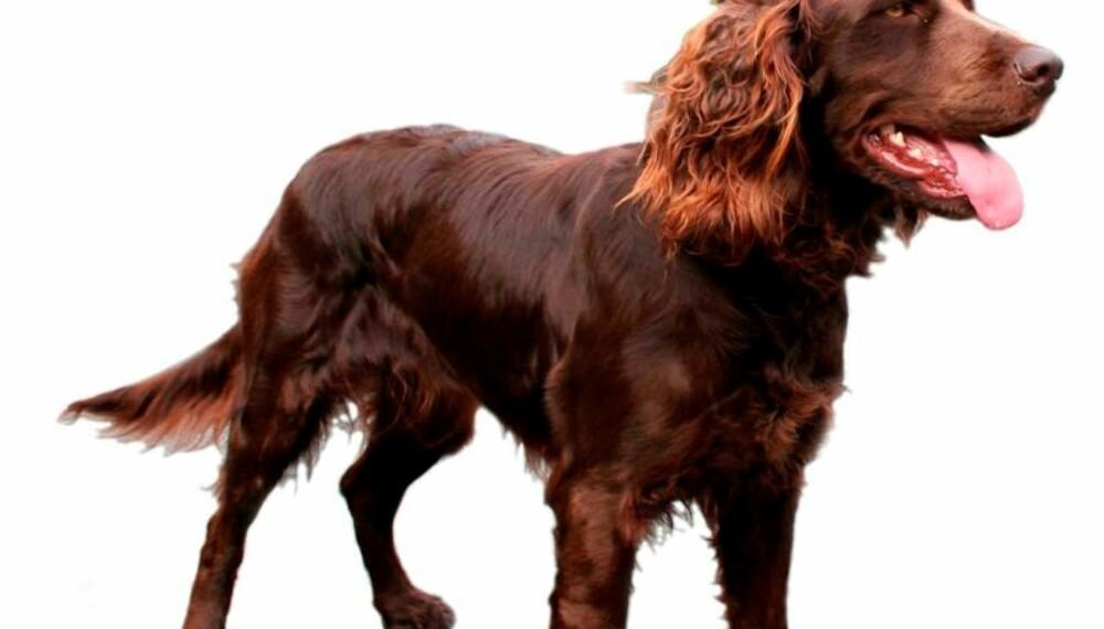 KREVENDE JAKTHUNDRASE: Vakker og villig, men selvstendig. Fasthet, konsekvens og mye trening er det som skal til for å få det beste ut av en wachtelhund. (Foto: Hans Inge Justnes /stoiletufta.com)