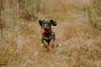 JAKT OG FAMILIE: Dachsene er i tillegg til å være gode jakthunder hengivne familiehunder, men de trenger en bestemt flokkleder. (Foto: Yngve Ask)